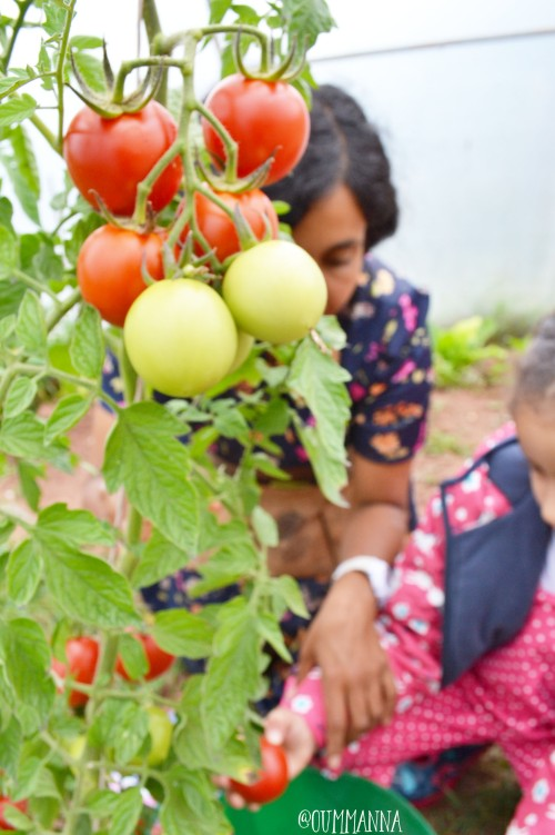 harvesting-tomatoes
